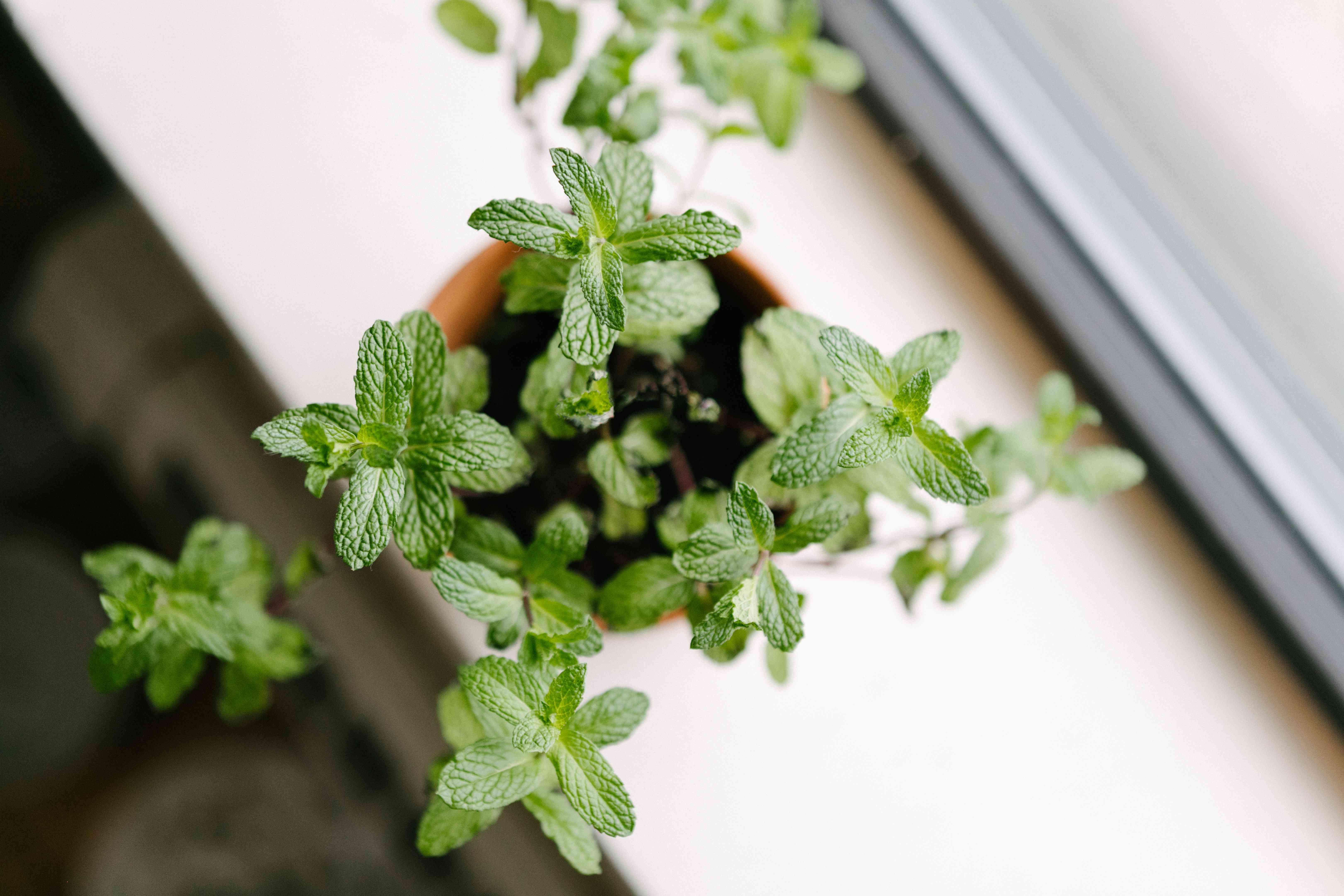 overhead shot of fresh green mint herb on white windowsill