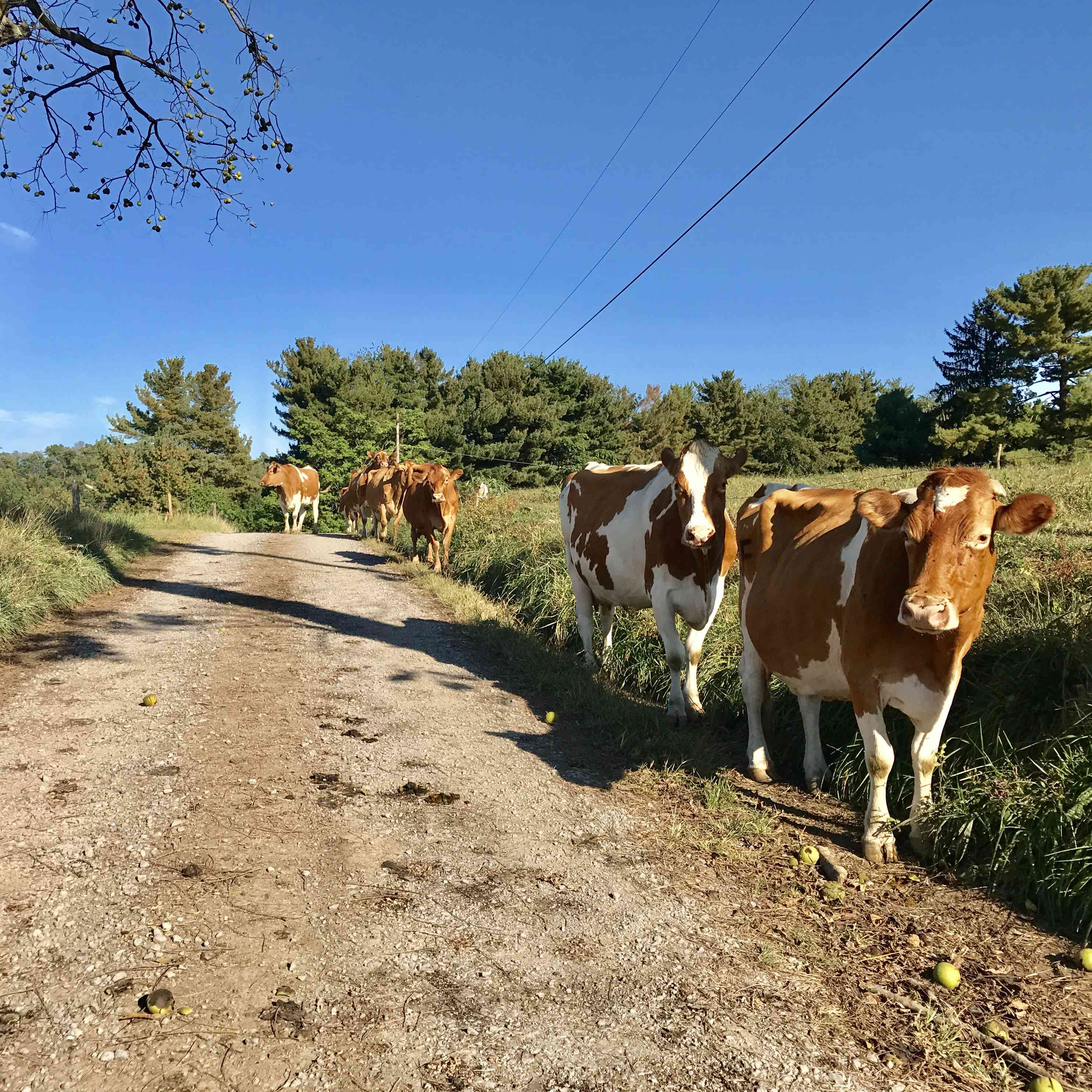 After a long day, the only traffic you'll see on the author's street are the 30 cows returning from a long day of roaming the neighborhood.
