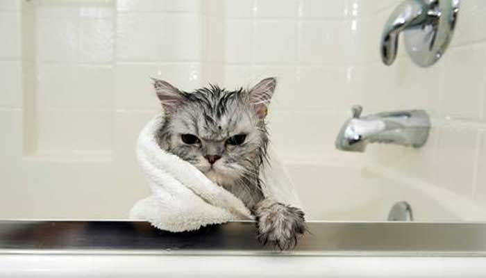 5 Videos de Gatos que Aman el Agua