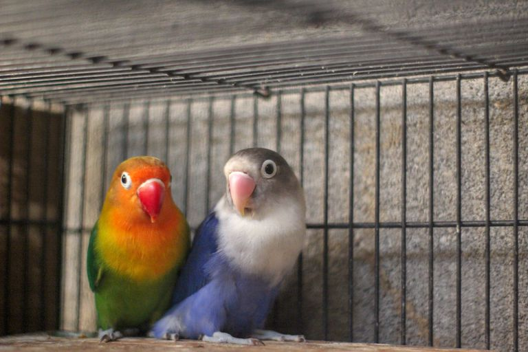 lovebirds in cage