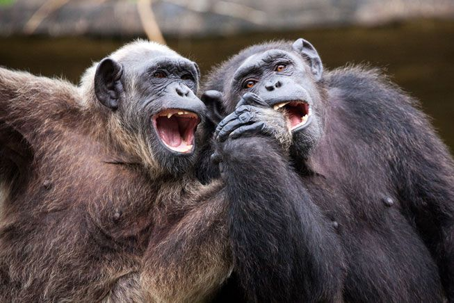 Two chimps sit close and hold hands