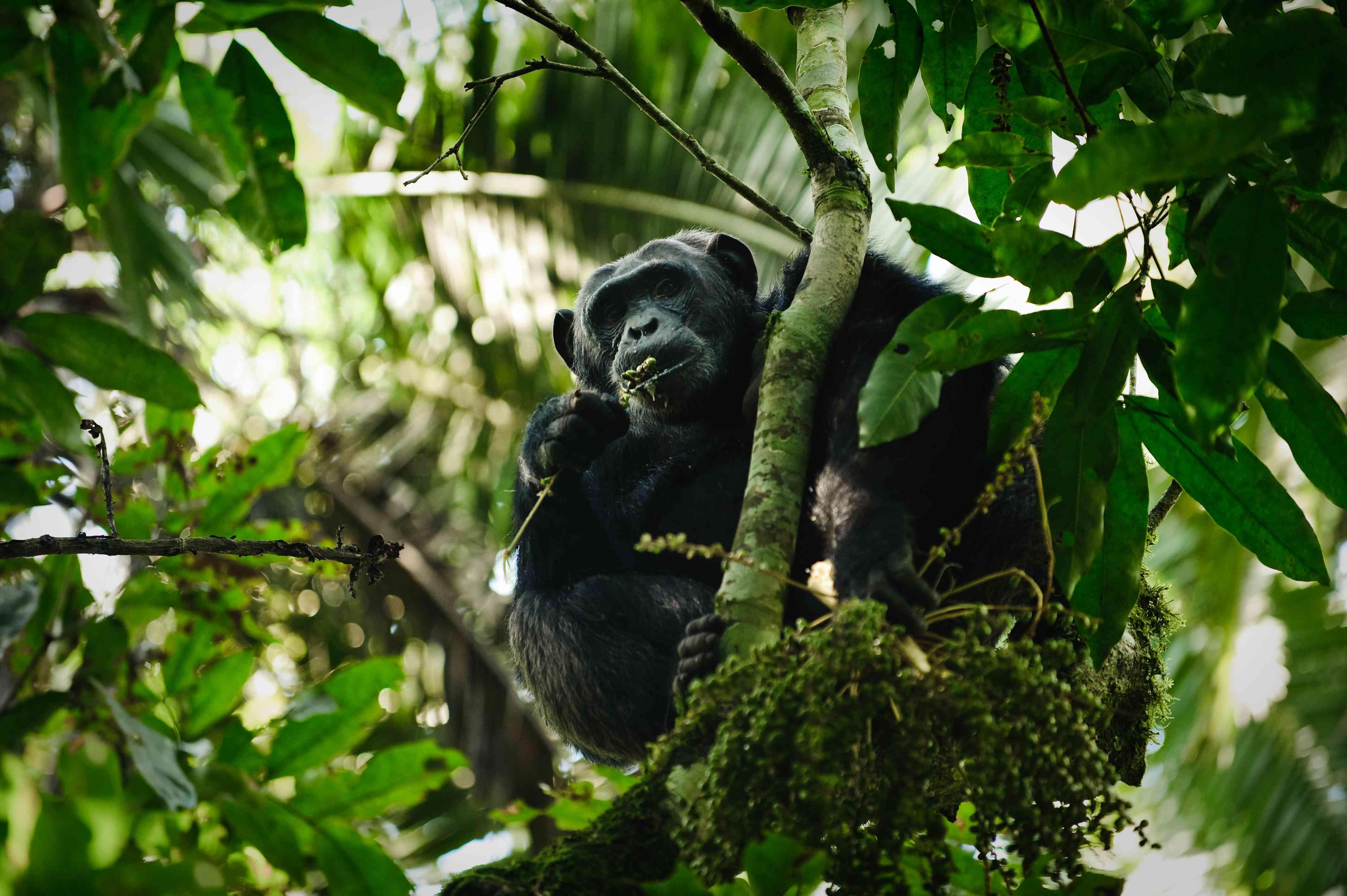 Male chimpanzee (Pan troglodytes), Kibale Forest National Park, Uganda