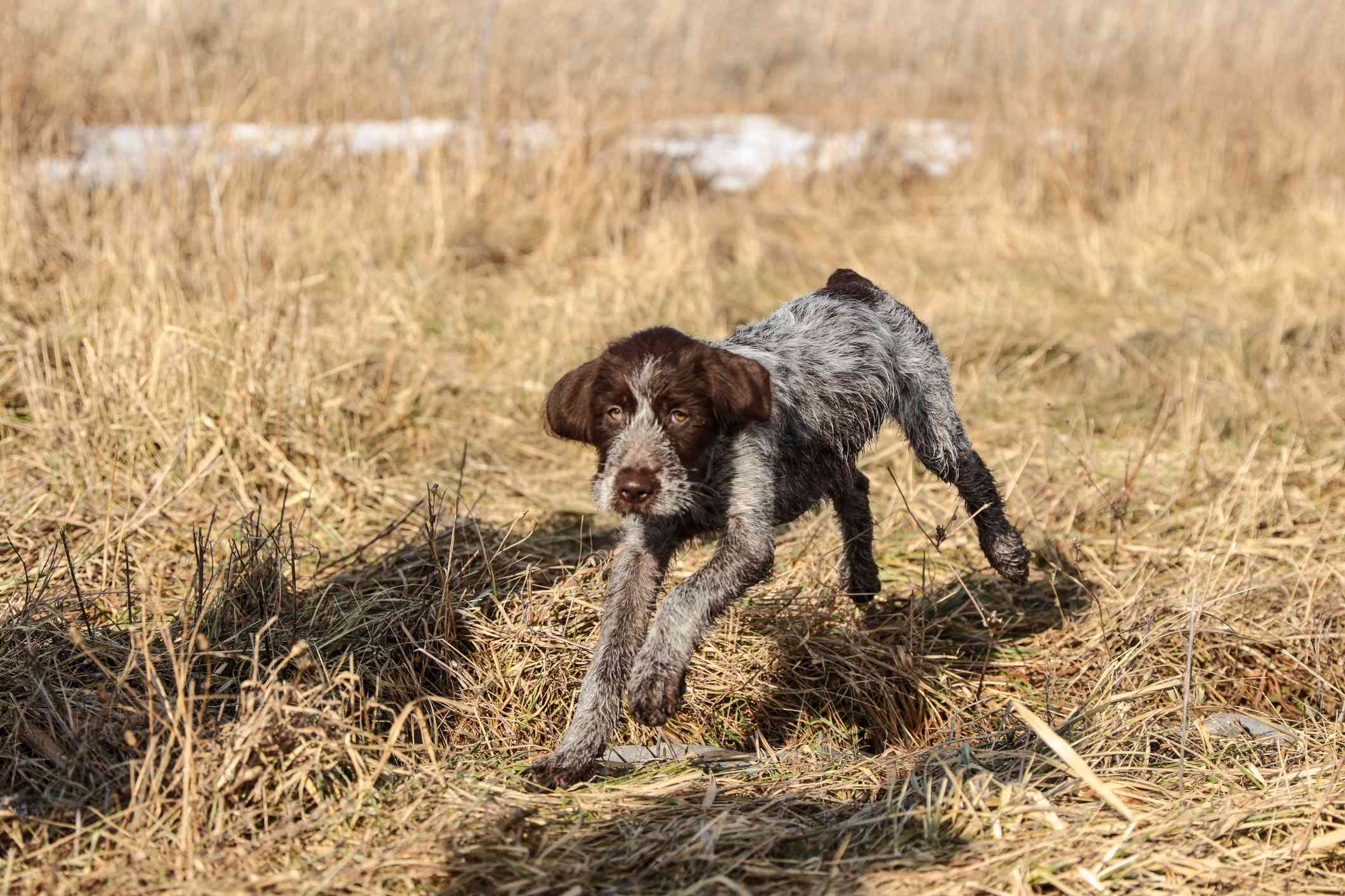 Wirehaired pointing griffon running in a field.