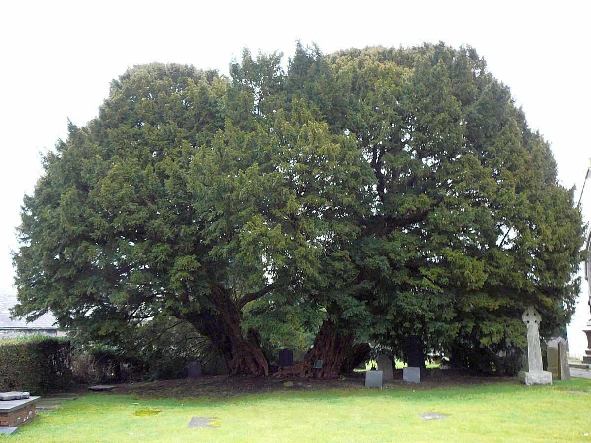 Llangernyw yew tree in Llangernyw Village, Conwy, Wales