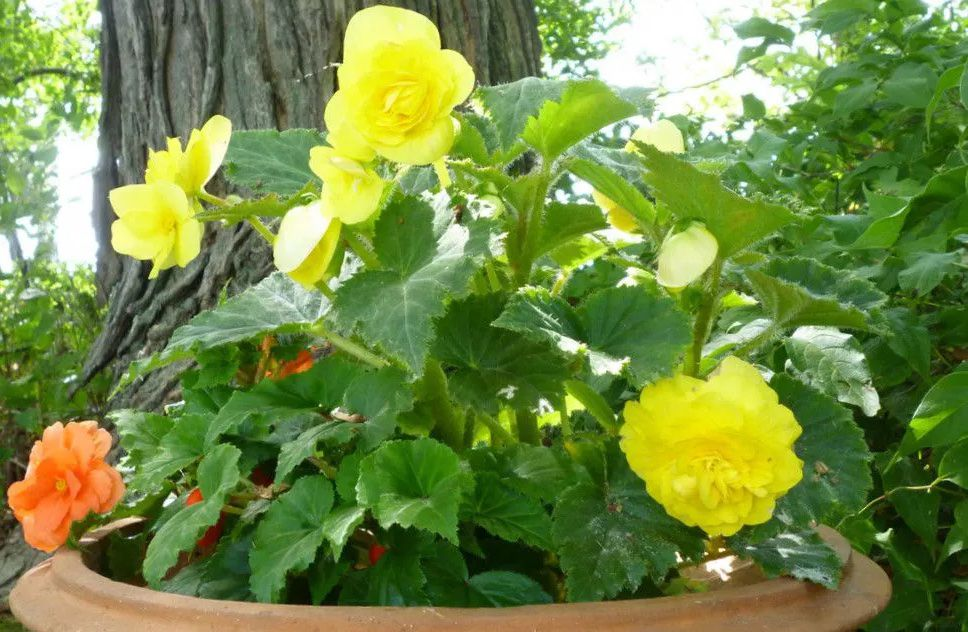 Yellow and orange begonias grow outside in a large clay pot