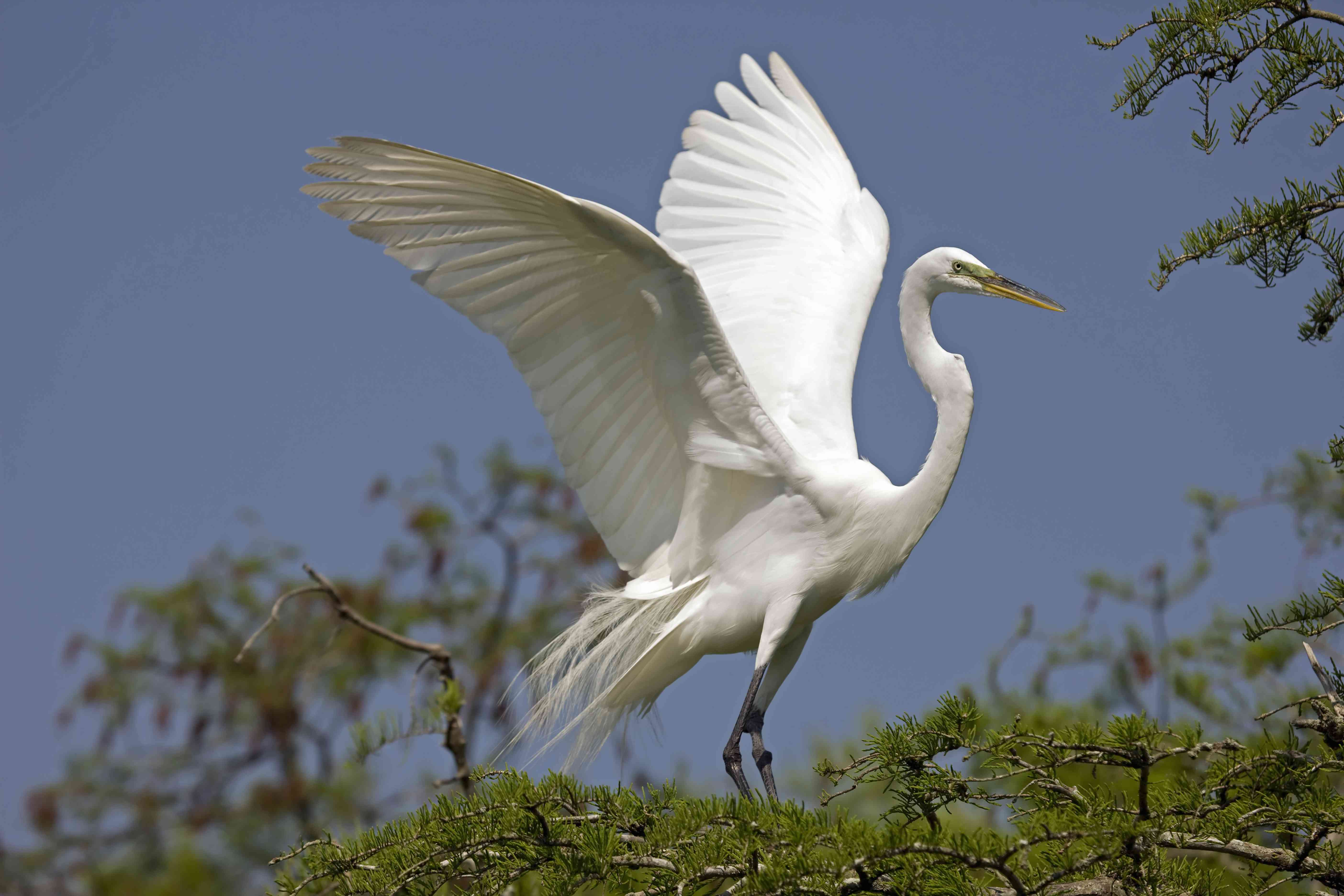Great Egret taking off from tree top