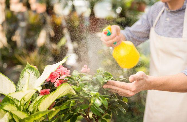 A gardener sprays a DIY pesticide on plants on plants