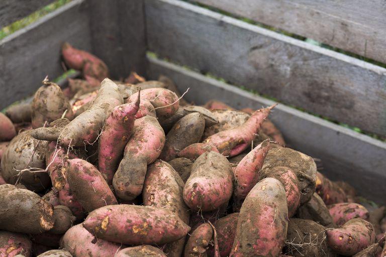 Tub of sweet potatoes