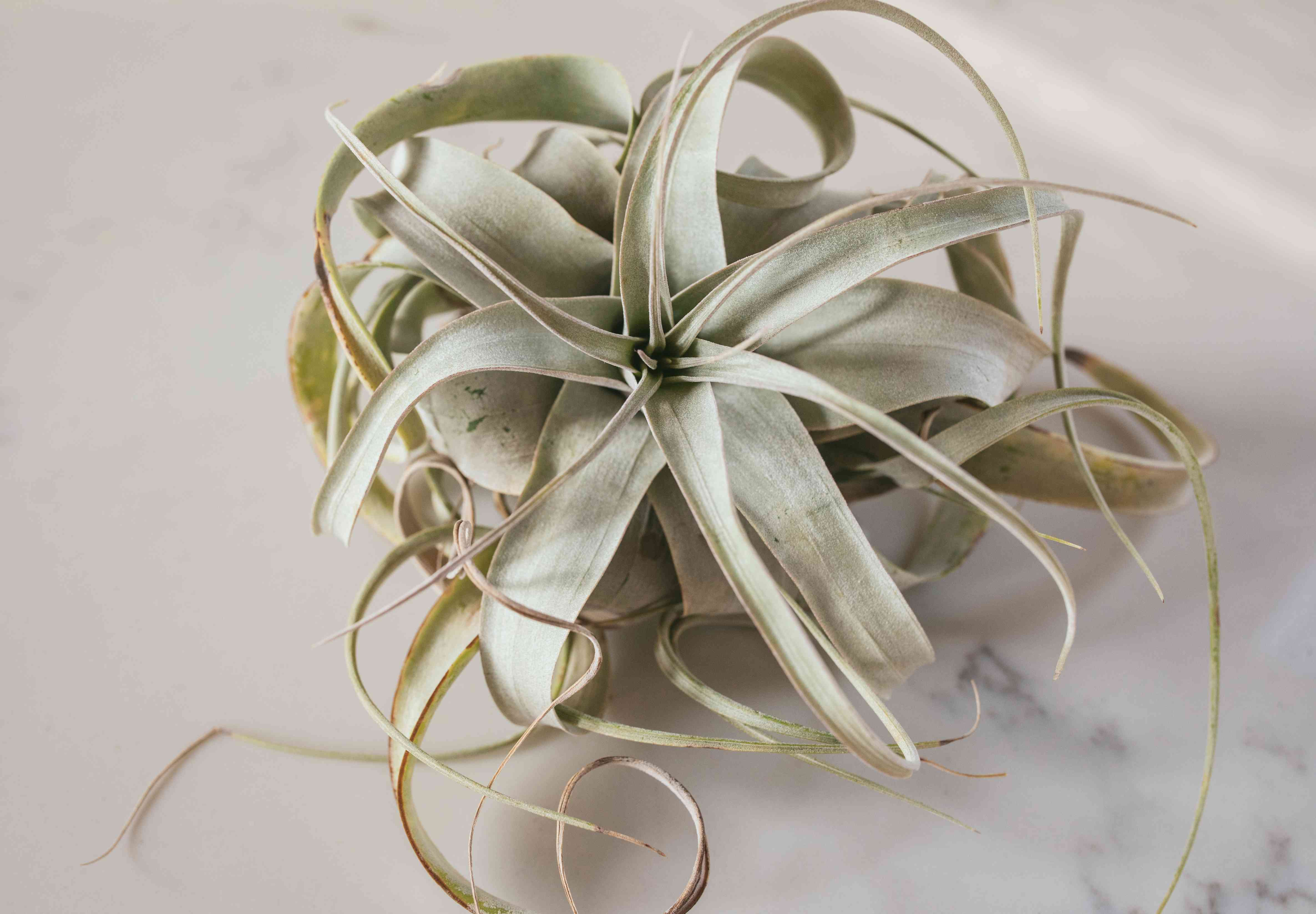 close up shot of mint green air plant on white marble background