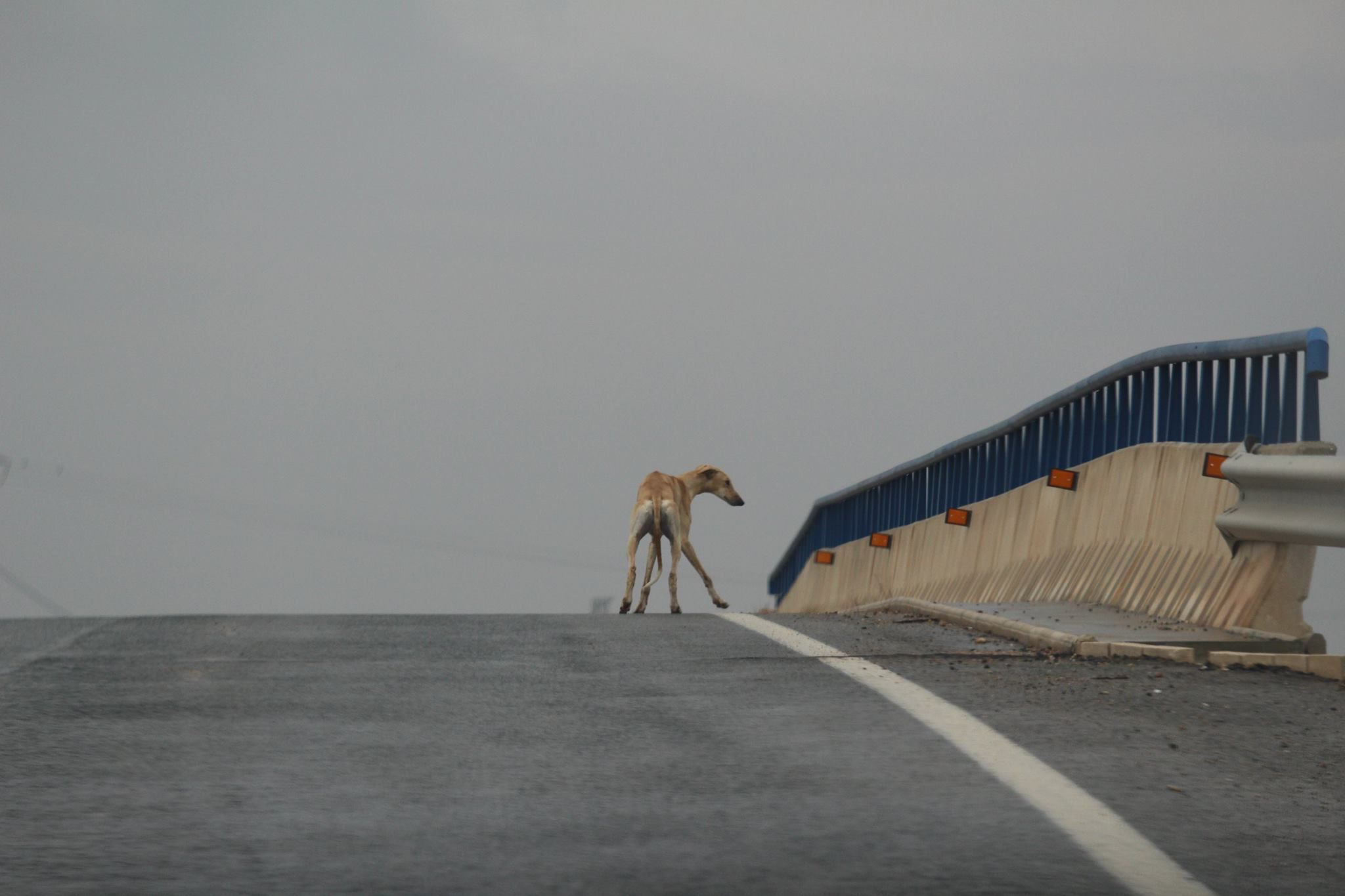 A galgo, or Spanish hunting dog, stands in the road