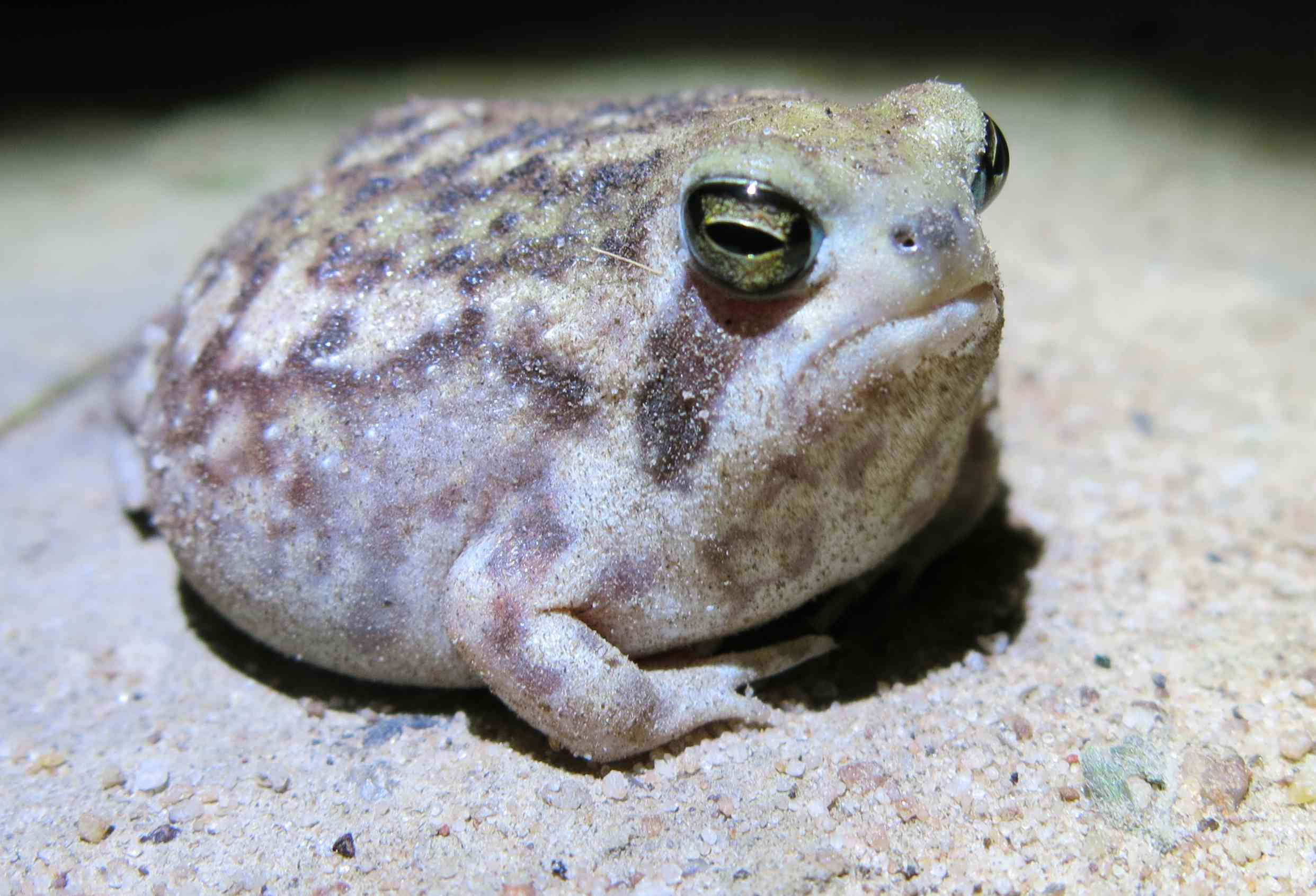 A rain frog sits on the sandy ground
