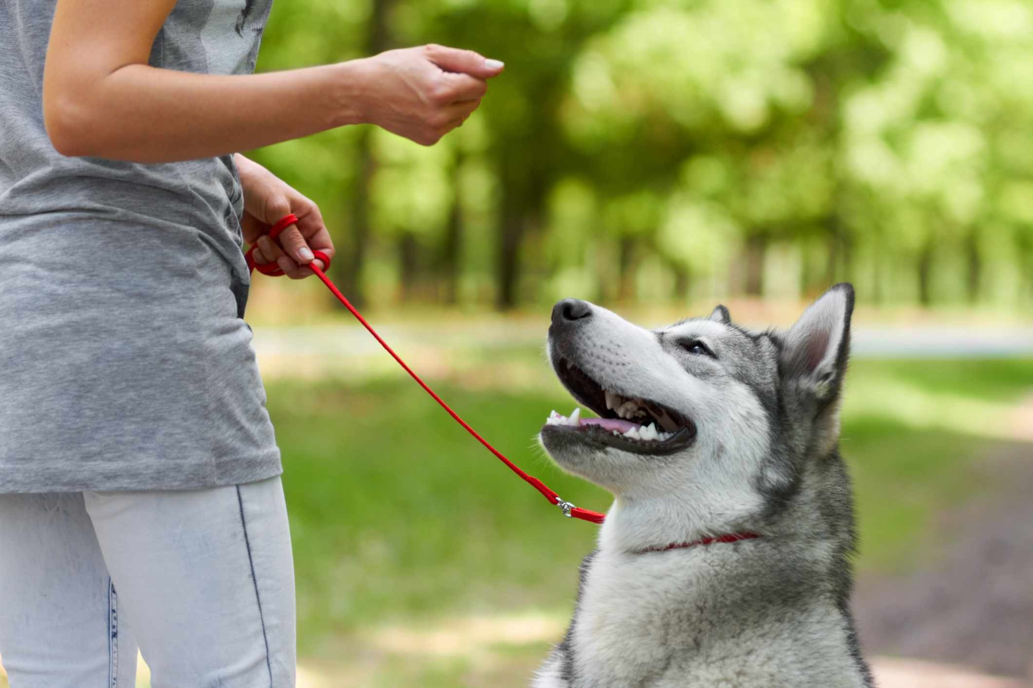 A Husky dog being trained by owner.