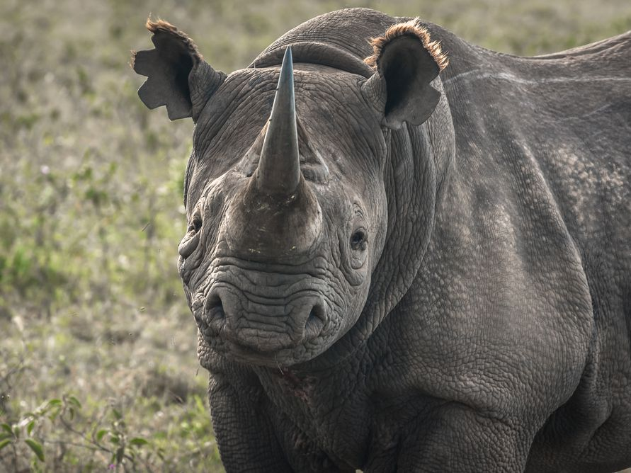 To Save The Endangered Black Rhinoceros We Need A New Strategy