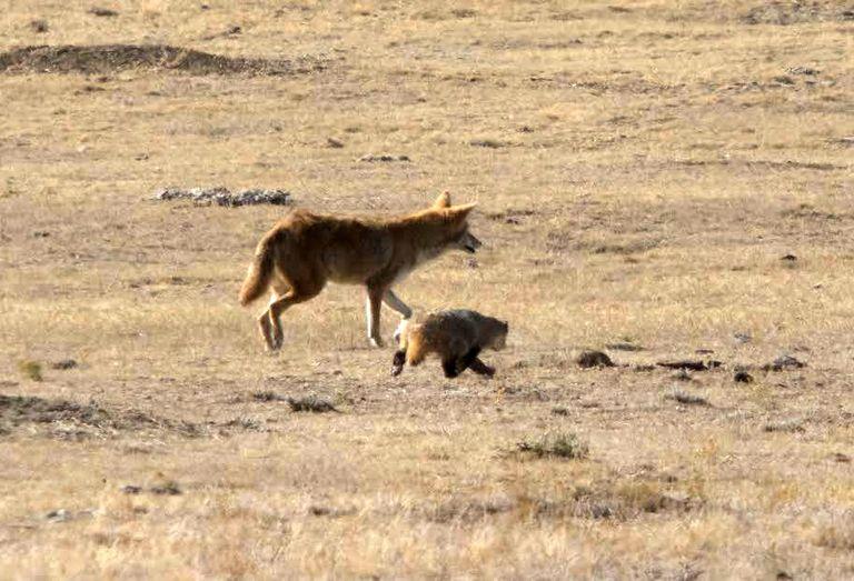 Por qué los coyotes y los tejones cazan juntos