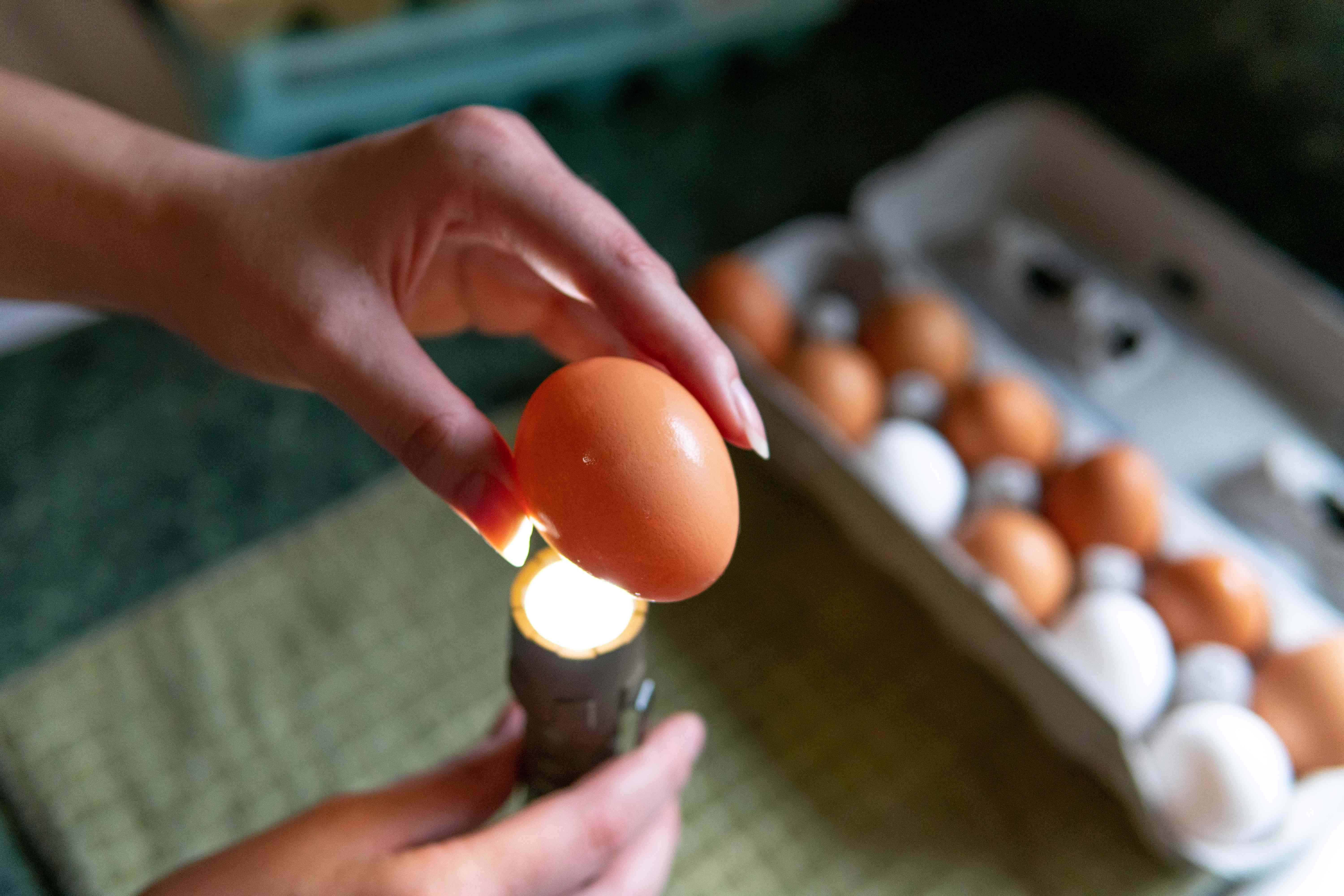 checking eggs with flashlight
