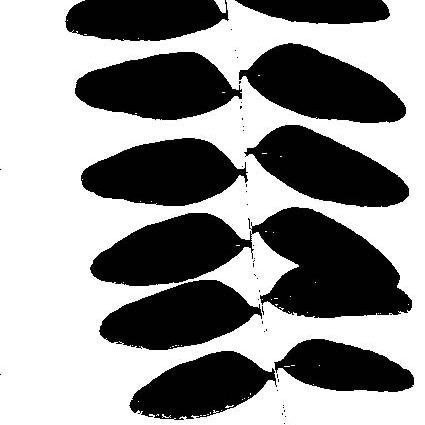 Silhouettes Honey Locust Leaf