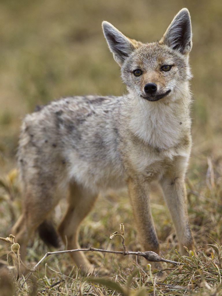 Nueva especie de lobo descubierta en África