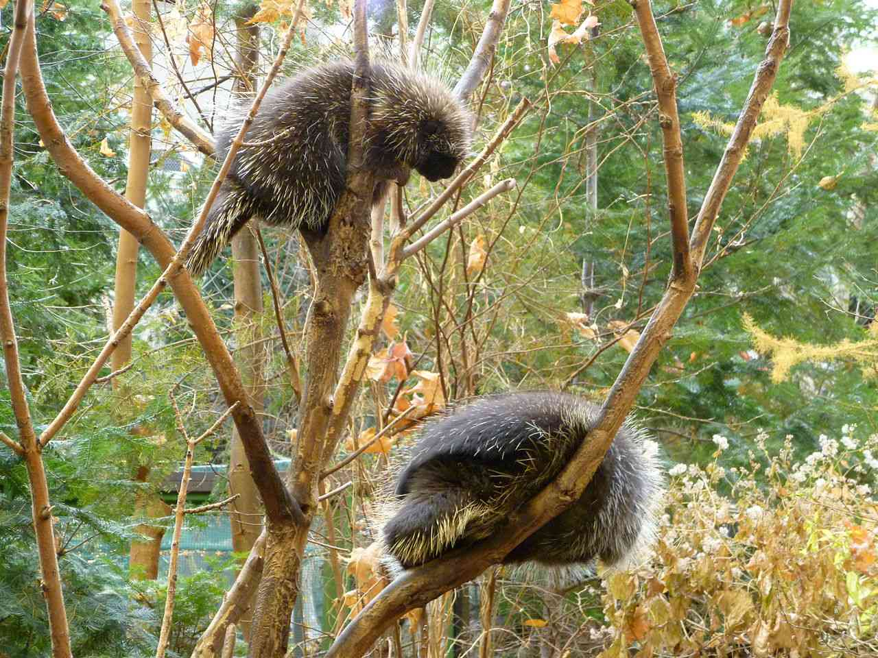 two porcupines in a tree