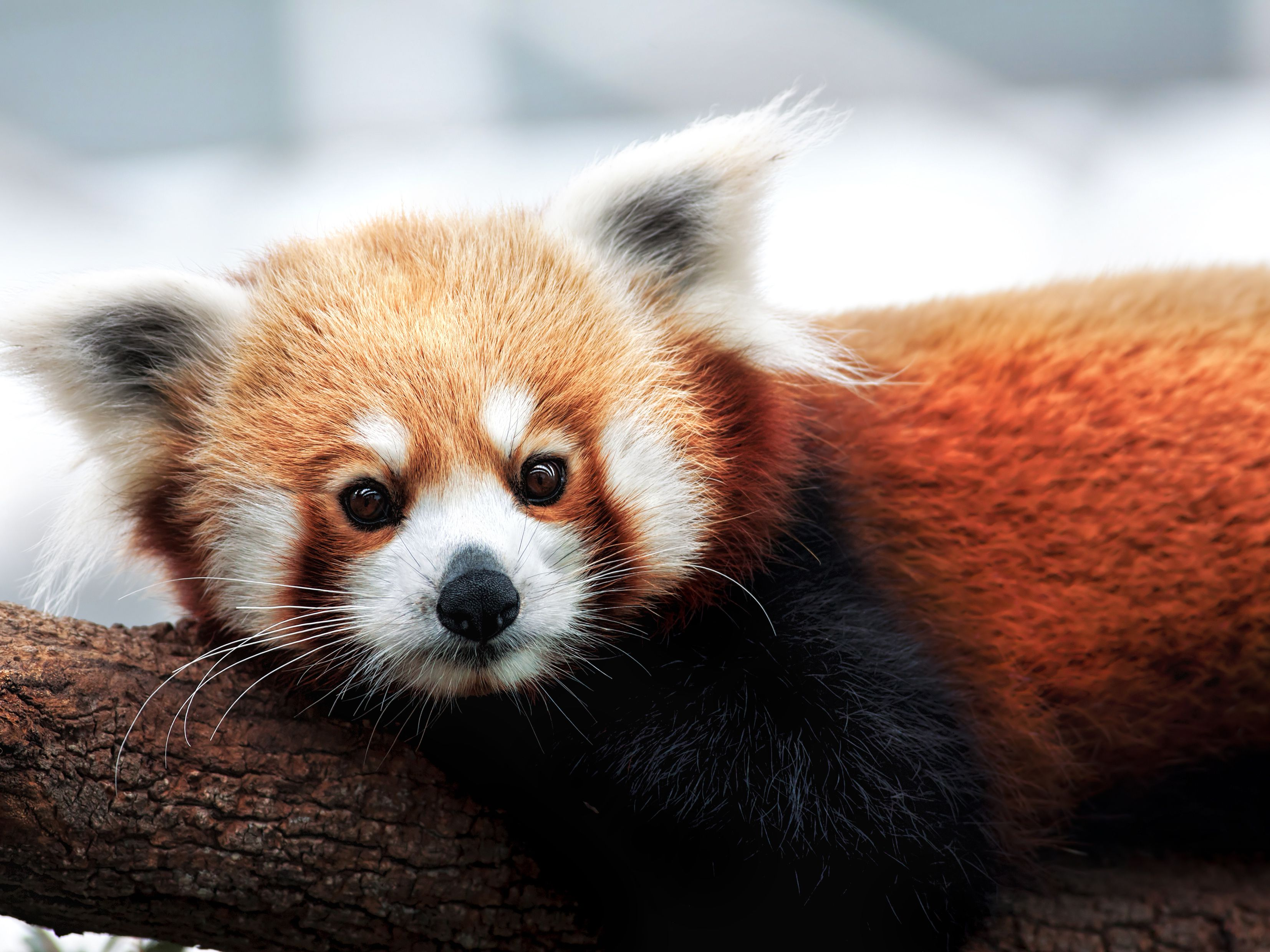 Red Pandas Are Actually 2 Separate Species