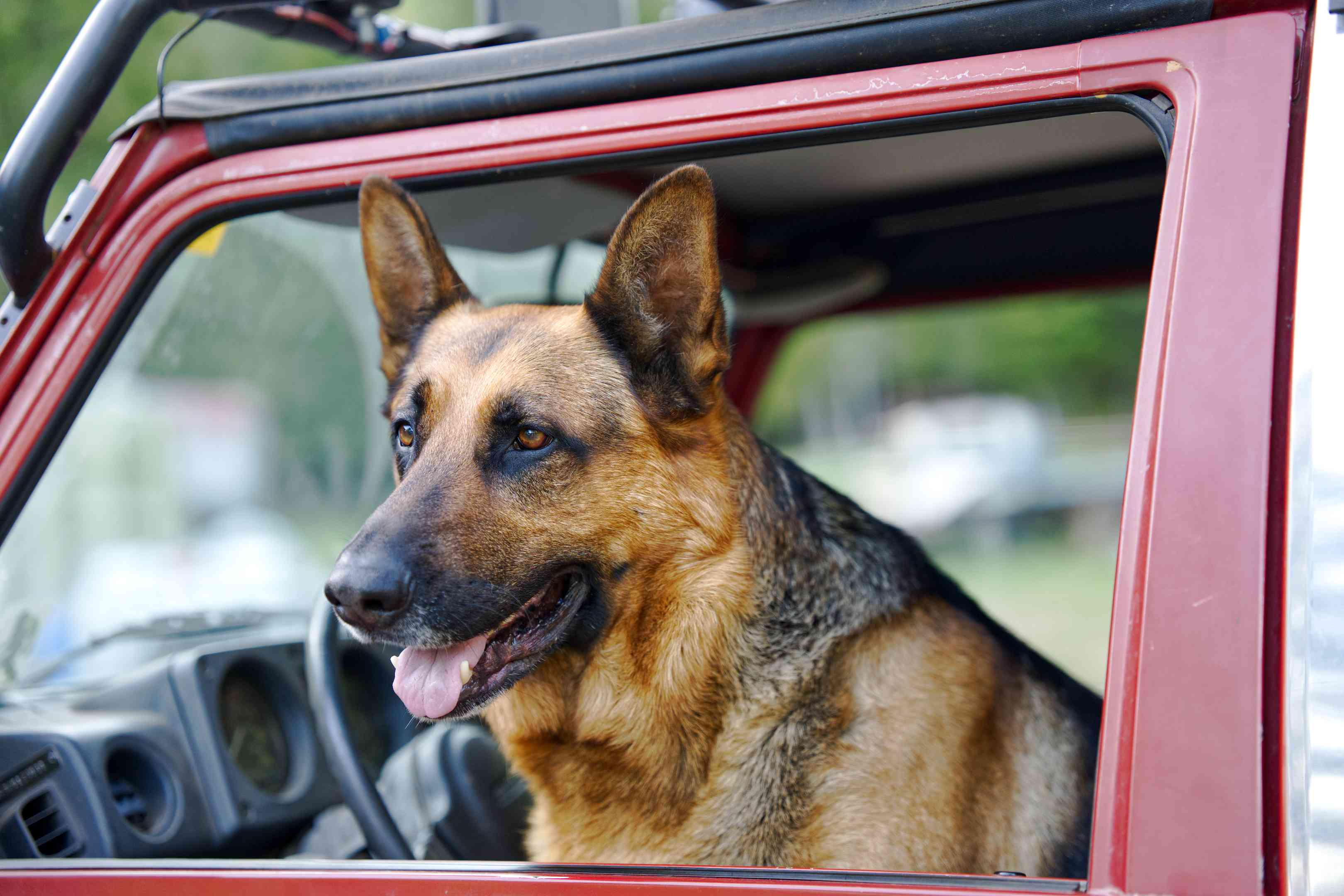 german shepherd dog sits in drivers seat of jeep, gazes out of open window