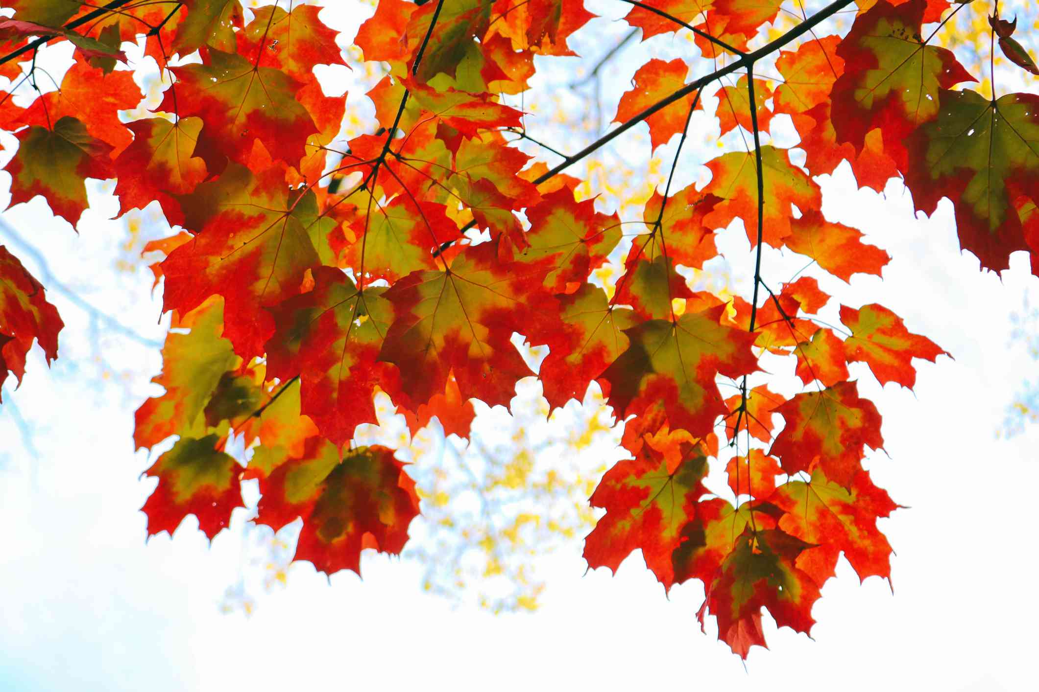 Red maple leaves against the sky.