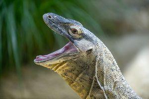 A komodo dragon open its mouth wide.