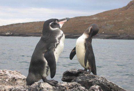 galapagos penguin pair photo