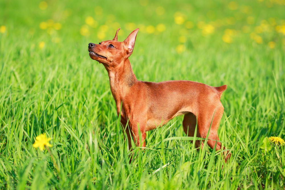 Brown miniature pinscher standing in a field of grass and yellow flowers