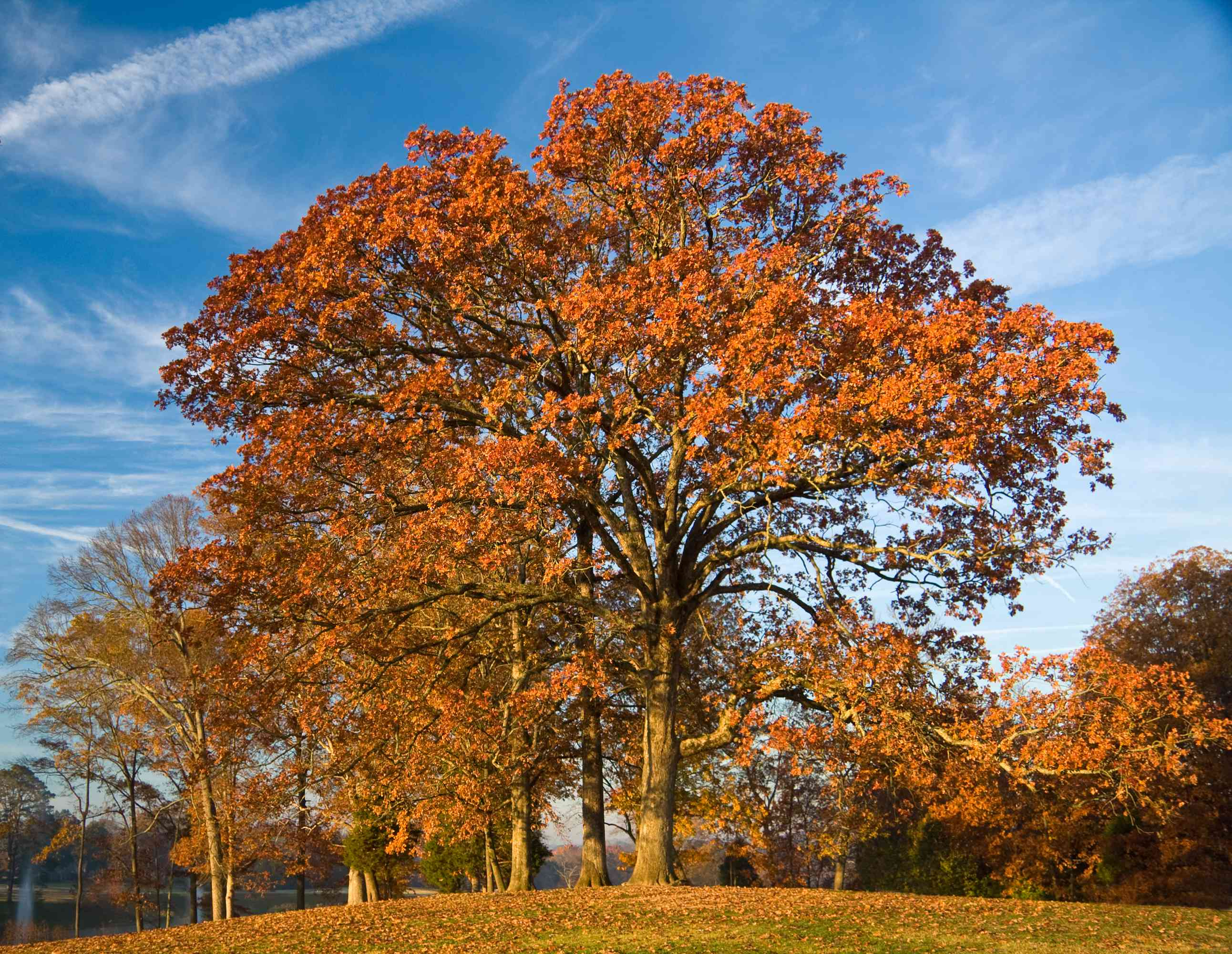 A Post Oak tree with red leaves in the fall.