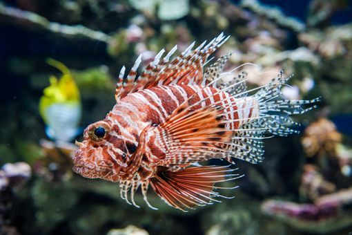 Side profile of red lionfish, an invasive species