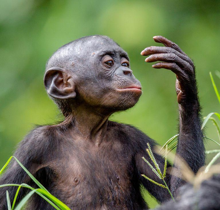 Este mito sobre los chimpancés ayuda a justificar el patriarcado y la guerra