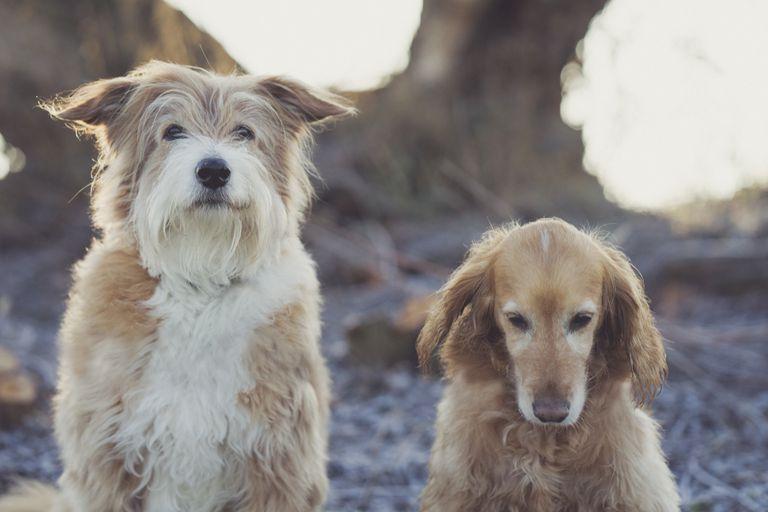 ¿Por qué los perros de orejas caídas parecen más amigables?