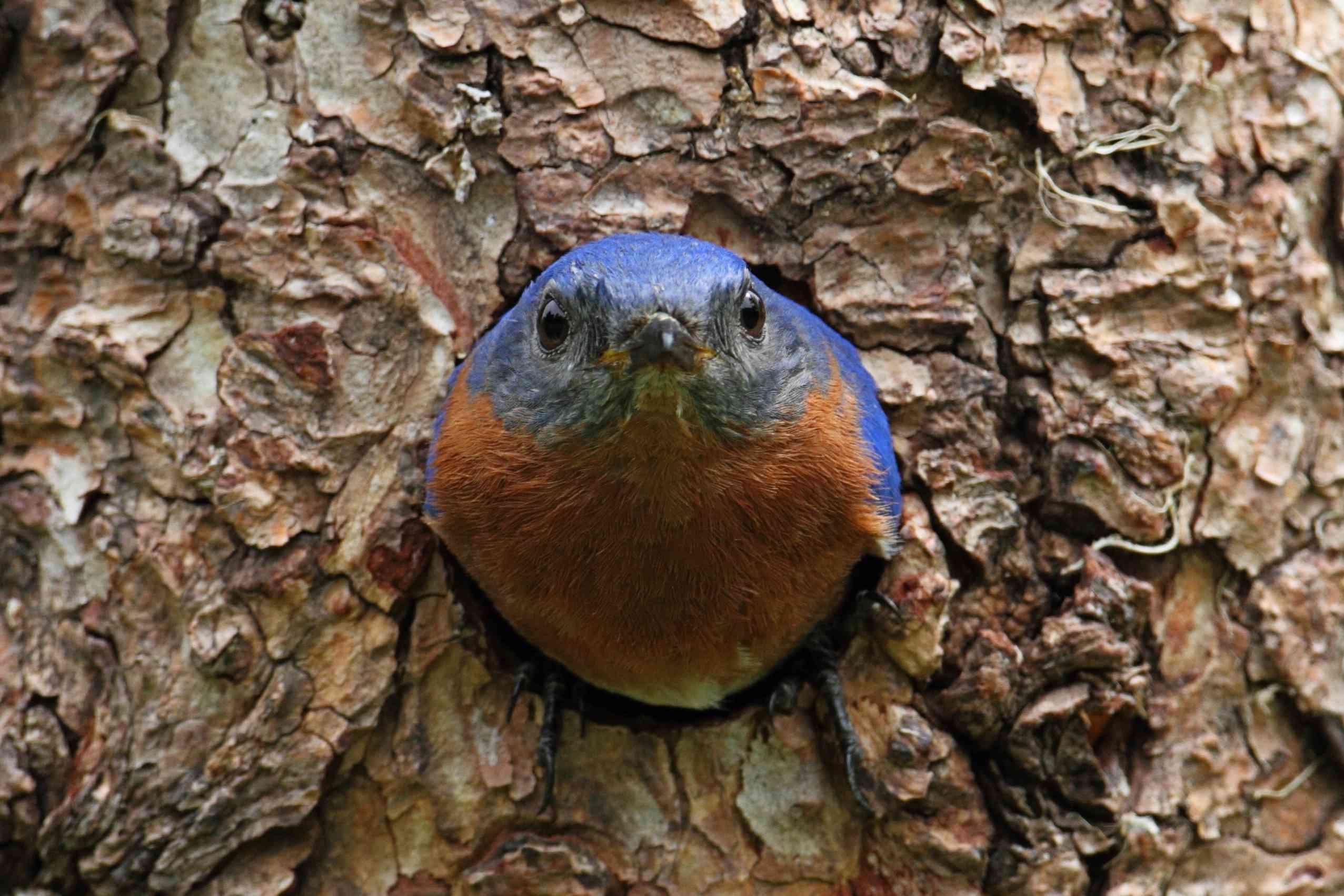 eastern bluebird in a tree cavity