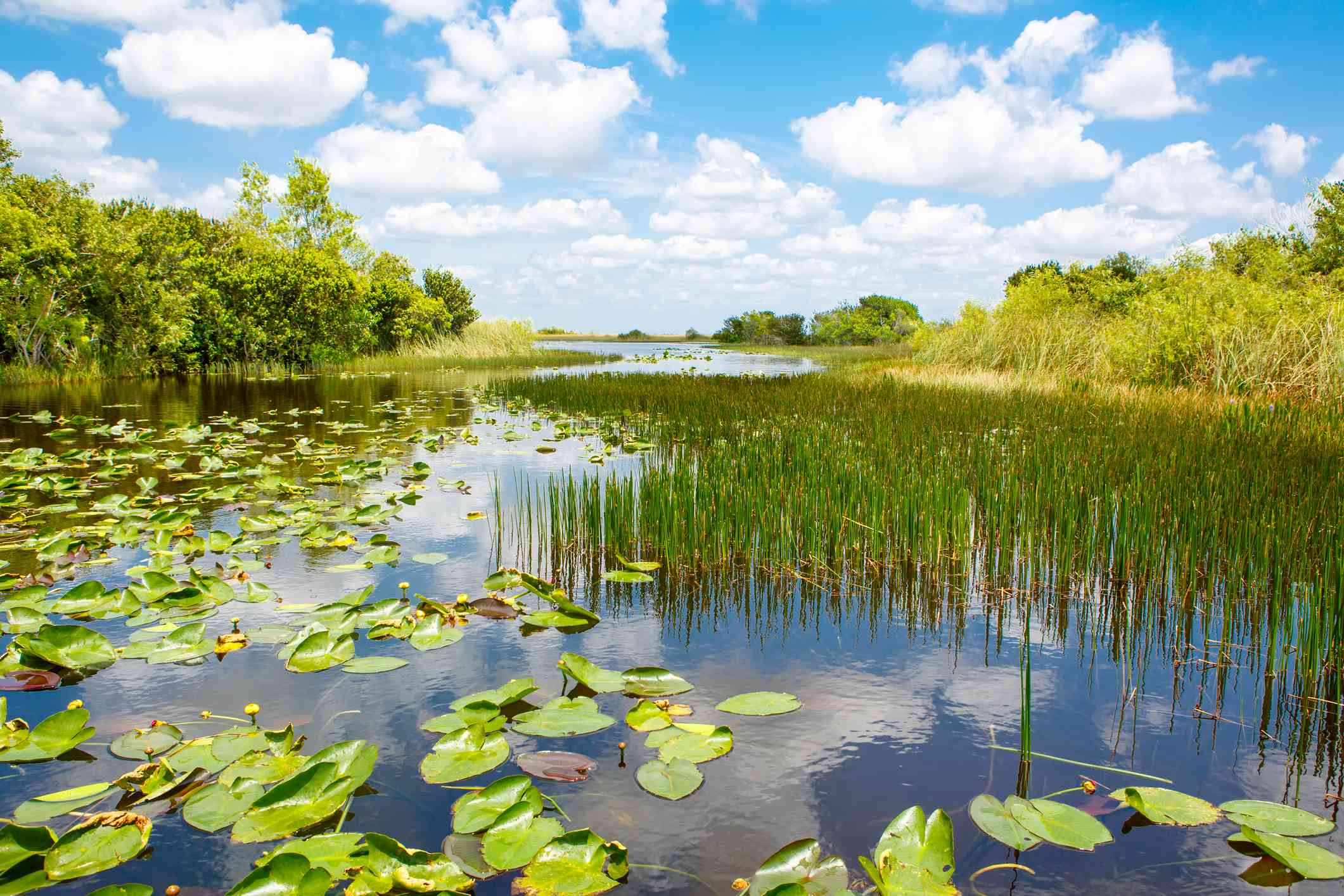 Wetland habitat in Everglades National Park with smooth water under blue sky and white clouds