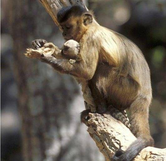 Capuchin Feeds Marmoset