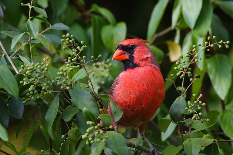 Male northern cardinal sitting on a leafy branch