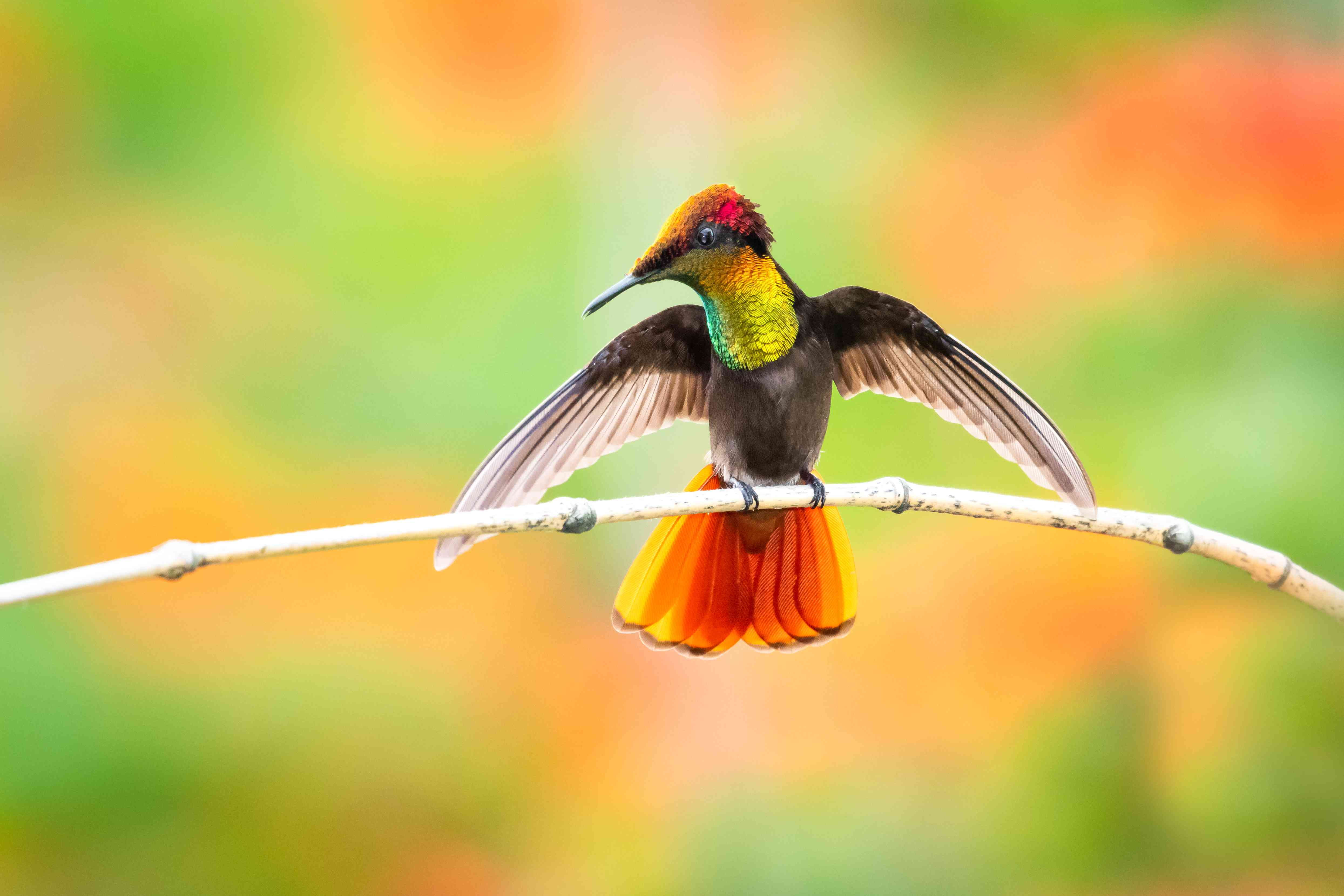 Ruby Topaz hummingbird with wings spread on a branch