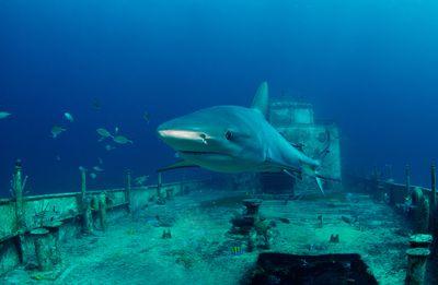 reef shark in shipwreck