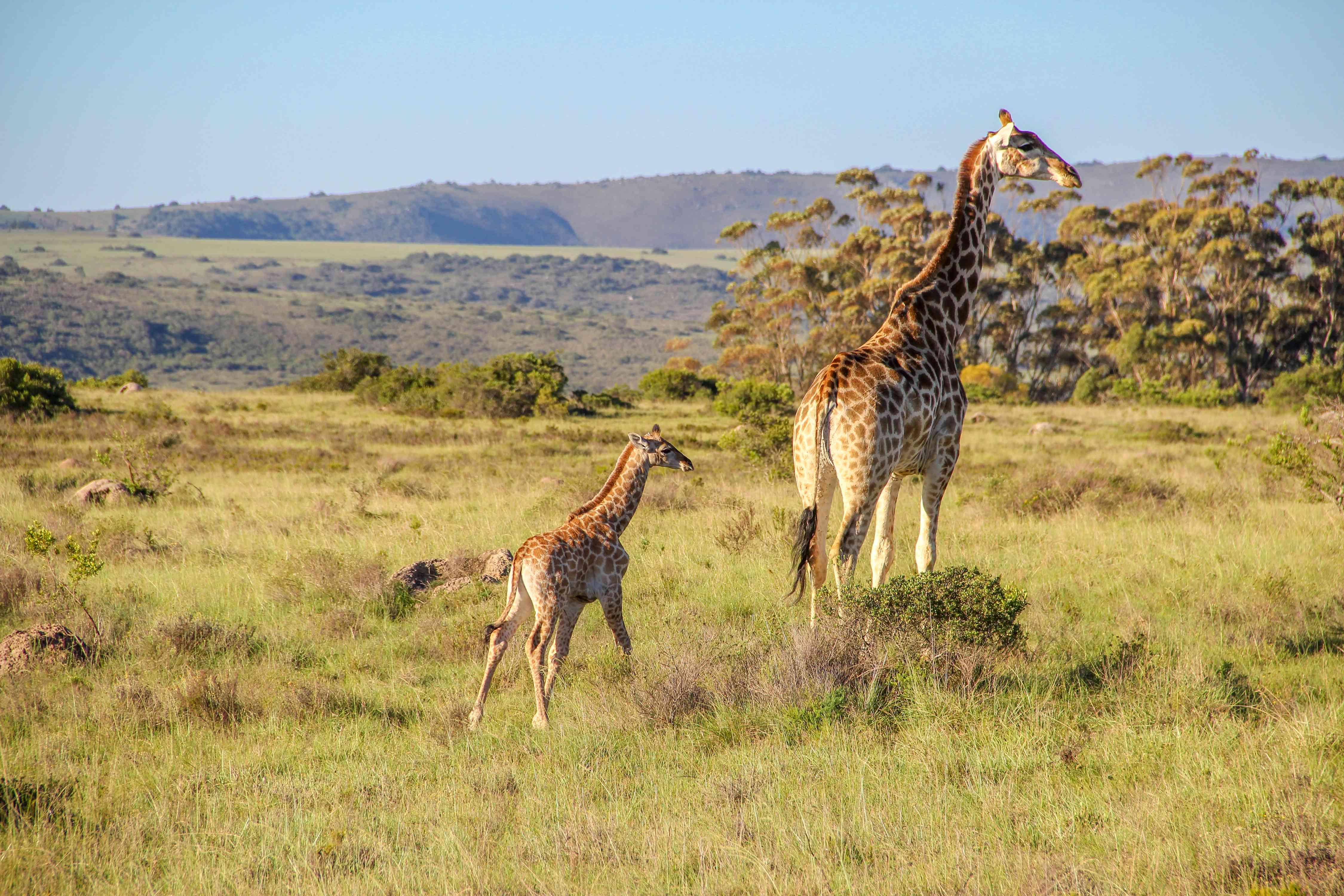 mother and calf giraffe at Shamwari Game Reserve in South Africa