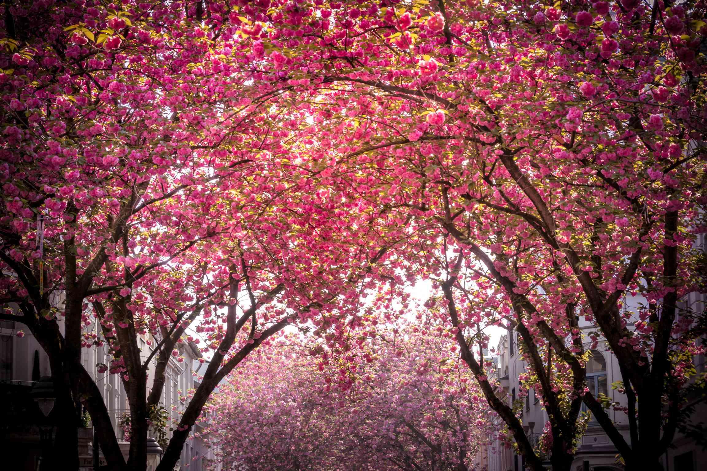 Tall, full cherry blossom trees in full pink bloom on a residential street in Bonn, Germany