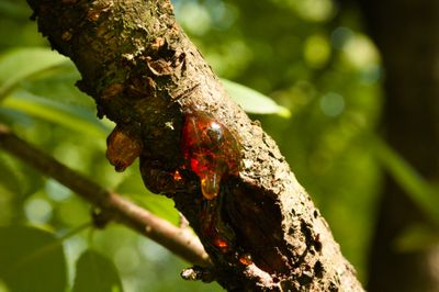 Gummosis on a cherry tree
