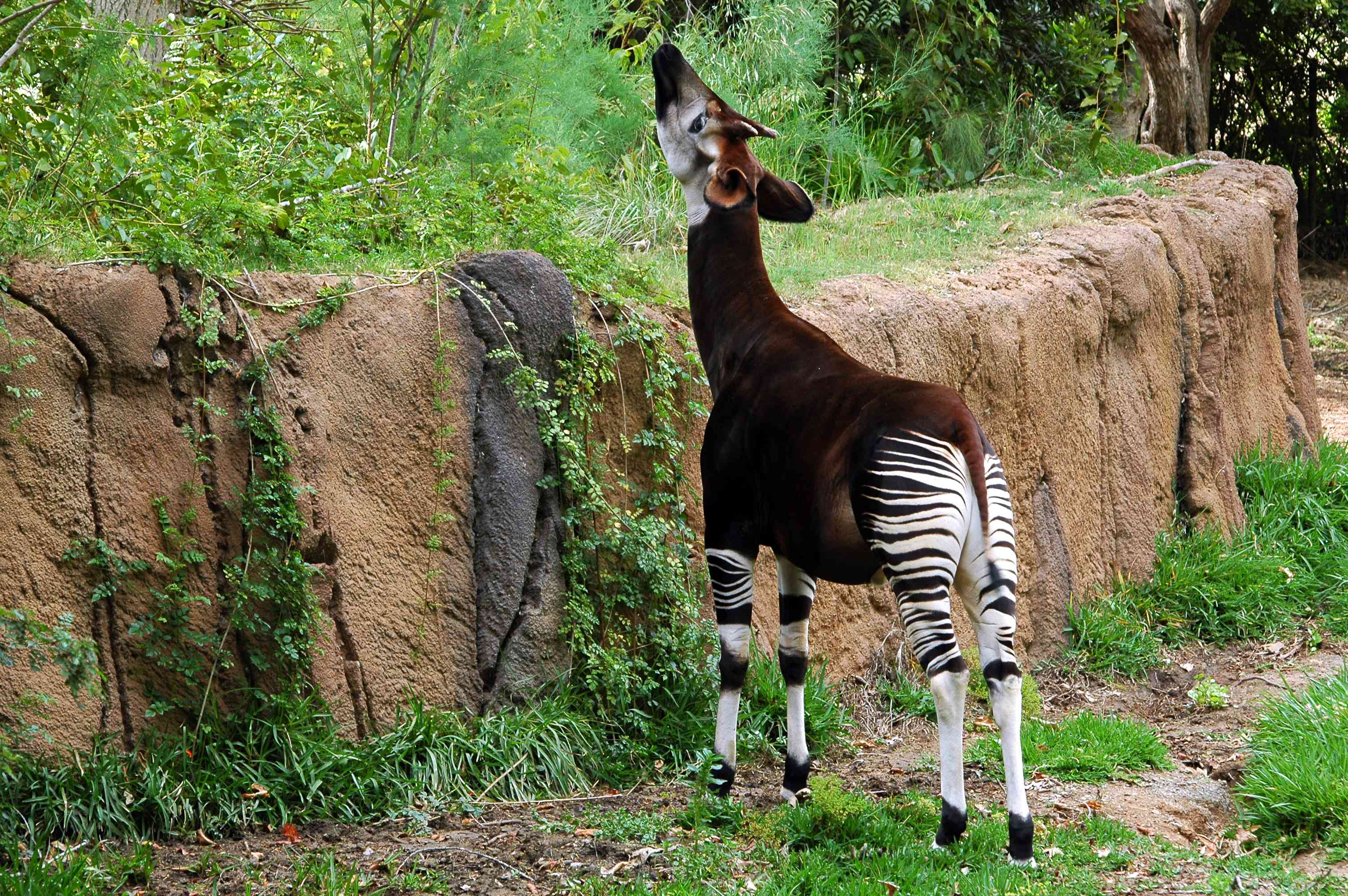 A brown okapi with striped white and brown legs standing in front of a stone wall reaching its face toward green vegetation