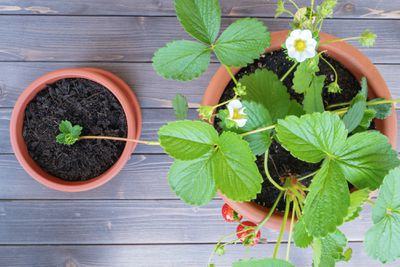strawberry runner gets replanted