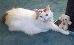 white and orange cat by scratching post