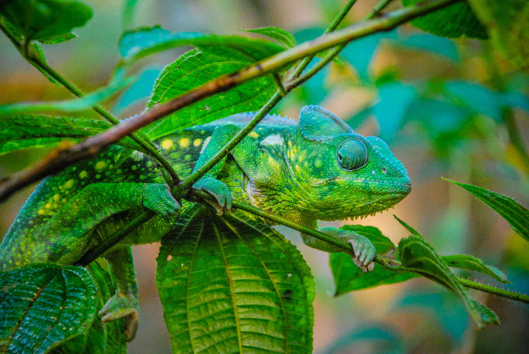 green and blue chameleon climbs through tree branches with matching colors
