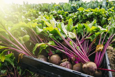 Close up of fresh beets in crate in farm field