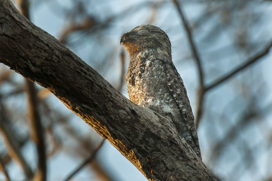 Great potoo bird perched on a branch