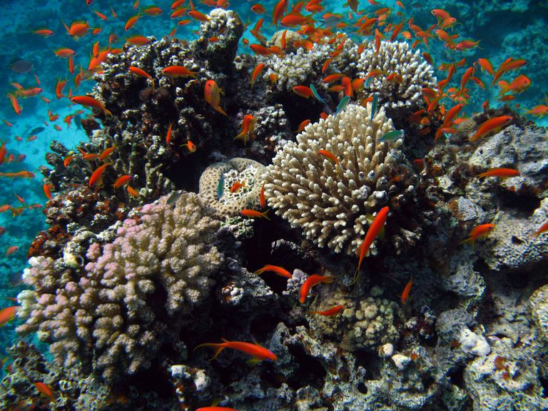 Red Sea coral reef and fish