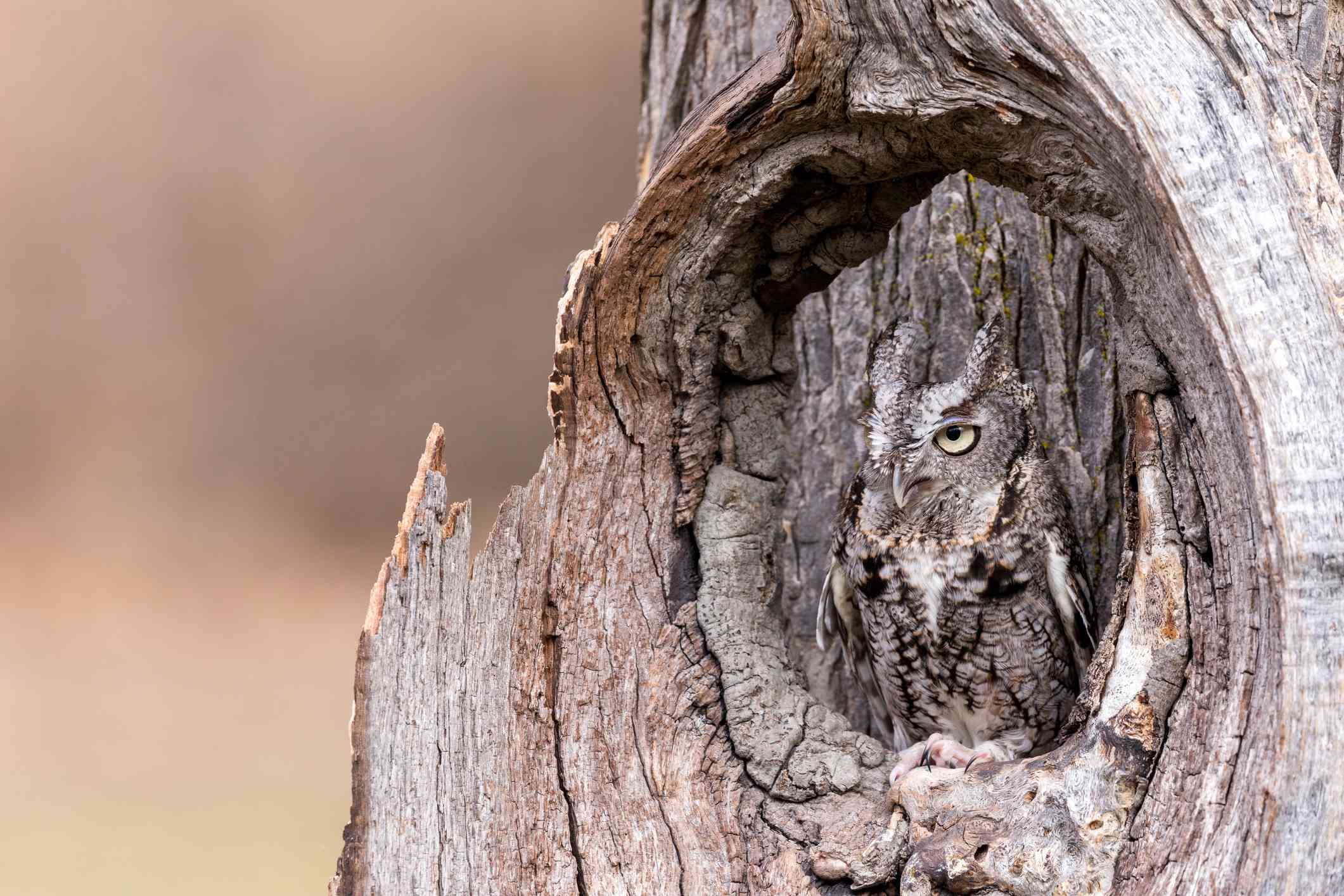 tan and gray eastern screech owl hides in tree trunk cavity and looks out
