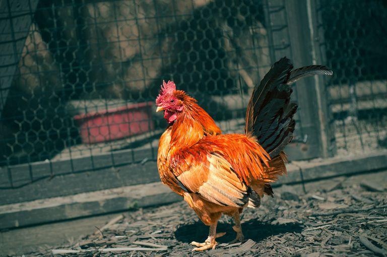 El dilema del gallo: nadie quiere un gallo